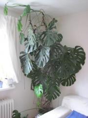 philodendron pflanzen garten g nstige angebote. Black Bedroom Furniture Sets. Home Design Ideas
