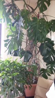 Günstige Monstera Pflanze