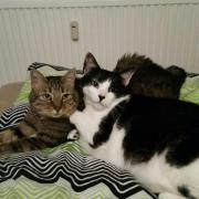 Hauskatzen Brüder