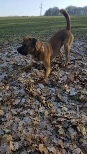 Hund leider müssen wir uns von unseren Hund trennen da unsere grosse eine Tierhaaralergie hat. der ist 14 monate alt und ein boxer laprador mix. Er ist ... 250,- D-66869Kusel Heute, 10:04 Uhr, Kusel - Hund leider müssen wir uns von unseren Hund trennen da unsere grosse eine Tierhaaralergie hat. der ist 14 monate alt und ein boxer laprador mix. Er ist