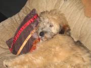 Hundewelpe 5 Monate
