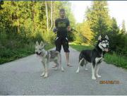 Husky und Tschechicherwolf