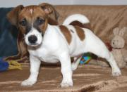 Jack-Russell-Welpe (