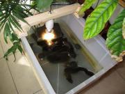 Junge Europäische Sumpfschildkröten