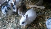 Junge Zwerghasen, Kaninchen,