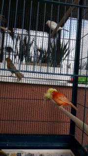 kanarien vogel zu