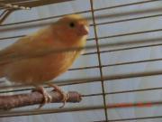 kanarienvogel zu verkaufen