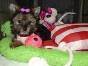 Kleinbleibendes Yorkshire Terrier