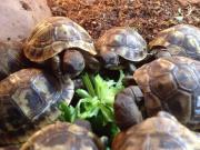kleine griechische Landschildkröten