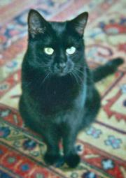 Komplett schwarze Katze