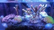 Korallenableger - SPS - LPS