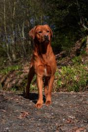 Labrador Deckrüden in