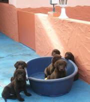 Labrador Welpen braun