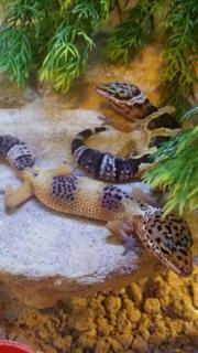 Leopardgecko-Nachzuchten aus