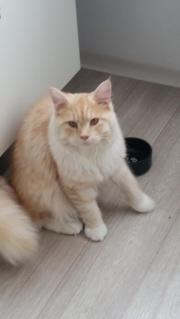Main Coon Kater
