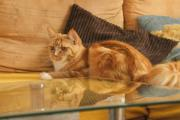 Maine Coon in