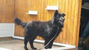 Marlow - Neufi-Schäferhund-