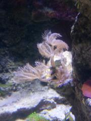 Meerwasser Koralle Zartgefiederte
