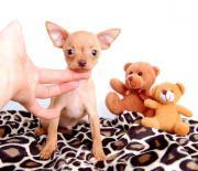 Mini Hunde / Welpen