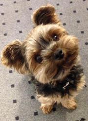 yorkshire terrier in freiburg hunde kaufen verkaufen. Black Bedroom Furniture Sets. Home Design Ideas