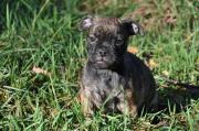Mops-Bulldog Welpen