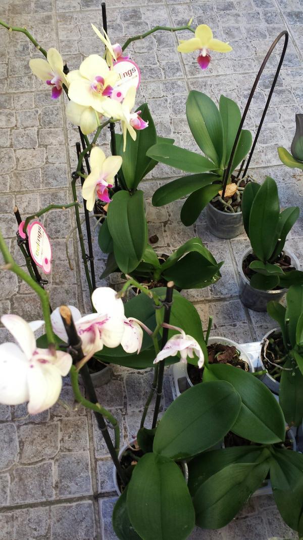 orchideen zu verkaufen in eschelbronn pflanzen kaufen. Black Bedroom Furniture Sets. Home Design Ideas