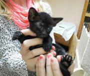 Orientalisch Kurzhaar Kitten,