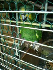 Papagei (venezuelaamazone )entflogen