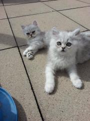 Perser Katzen verkaufen