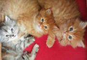 Perser Kitten ohne