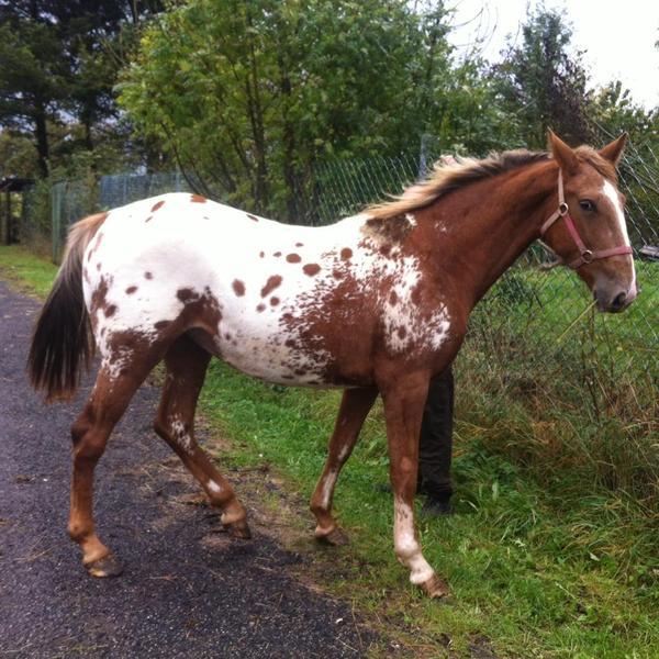 pferd zu verkaufen appaloosa zu verkaufen in asbach. Black Bedroom Furniture Sets. Home Design Ideas