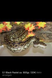 Python Regius Morphen