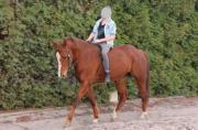 Quarter-Horse Stute,