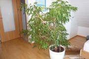 Repräsentativer Ficus Benjamini (