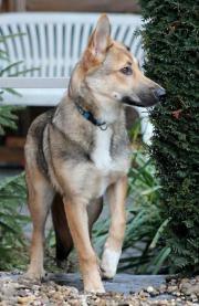 Schäferhund-Mischling, 9
