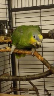 Suche flugunfähigen Papagei