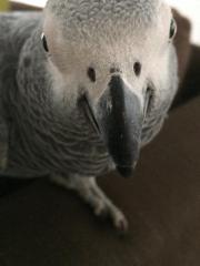 Suche Graupapagei (Weibchen)