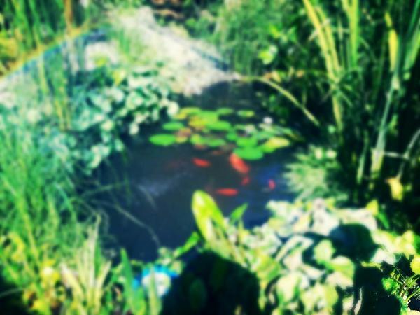 Goldfische neu und gebraucht kaufen bei for Teichfische versand
