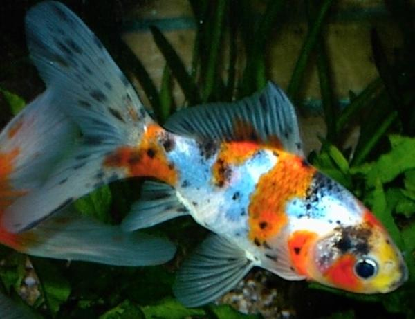 Goldfische verkaufen kleinanzeigen tiermarkt deine for Teichfische shubunkin