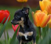 Toy Terrier, Russische