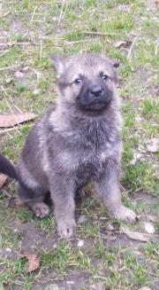 Tschechisch-slowakische Wolfshund /