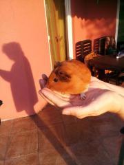 Verkaufe Meerschweinchen