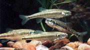 Verkaufe Teichfische Elritzen,