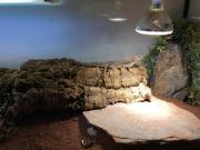 Wüstenleguan Dipsosaurus Dorsalis