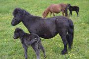 Wunderhübsche Shetland-Stute