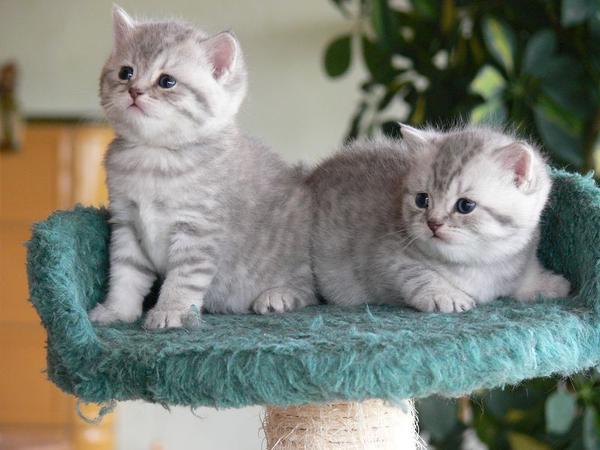 wundersch ne bkh kitten mit stammbaum in apenburg katzen kaufen und verkaufen ber private. Black Bedroom Furniture Sets. Home Design Ideas