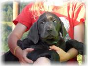 Wunderschöne typvolle Labrador