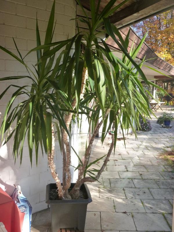 yucca palme in starnberg pflanzen kaufen und verkaufen ber private kleinanzeigen. Black Bedroom Furniture Sets. Home Design Ideas
