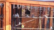 Zebrafinken Nachzuchten 2016