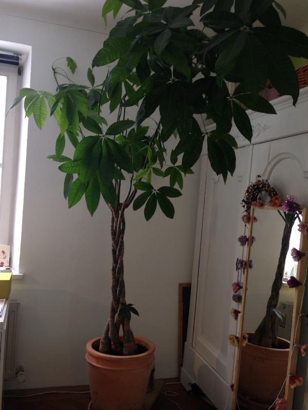 zimmerbaum flaschenbaum pachira aquatica zu verkaufen in m nchen pflanzen kaufen und verkaufen. Black Bedroom Furniture Sets. Home Design Ideas